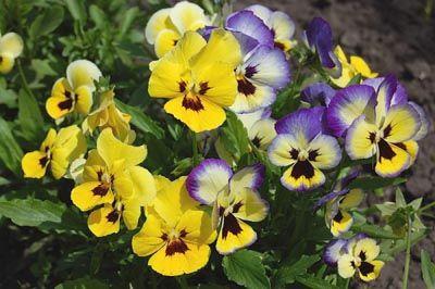 Скачать обои Цветы, фиалки, сенополии, много бесплатно для ... | 266x400